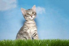 Kleines graues Kätzchen der getigerten Katze im Gras Lizenzfreie Stockbilder