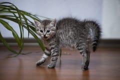 Kleines graues Kätzchen wölbte seins, das hinter und mit offenem Mund gezischt ist Stockfotografie