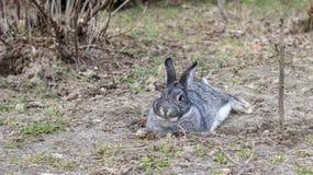 Kleines graues Kaninchen lizenzfreie stockfotografie