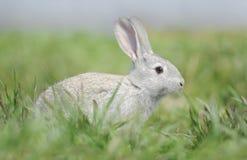 Kleines graues Kaninchen Stockbild