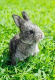 Kleines graues Kaninchen auf dem grünen Rasen Lizenzfreie Stockbilder