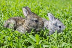 Kleines graues Kaninchen auf dem grünen Rasen Stockfotografie
