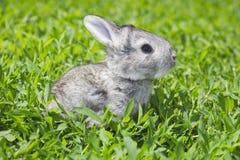 Kleines graues Kaninchen auf dem grünen Rasen Lizenzfreies Stockfoto