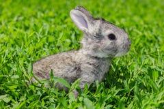 Kleines graues Kaninchen auf dem grünen Rasen Stockfotos