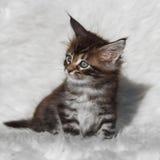 Kleines graues Maine-Waschbärkätzchen auf weißem Hintergrund Lizenzfreies Stockfoto