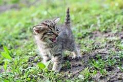 Kleines graues zischendes Kätzchen Stockfotos