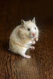 Kleines Hamsterstroh gefärbt Lizenzfreie Stockbilder