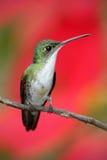Kleines himmngbird Andensmaragd, der auf der Niederlassung mit rotem Blumenhintergrund sitzt Lizenzfreie Stockbilder