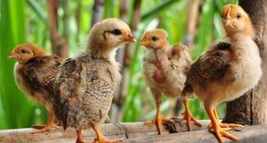 Kleines Huhn lizenzfreie stockfotos