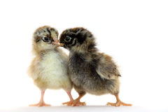 Kleines Huhn Lizenzfreies Stockbild