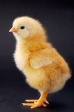 Kleines Huhn Stockfoto