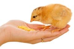 Kleines Huhn, das von der Palme isst Stockfotos