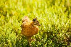 Kleines Huhn im Gras Grauer Hahn draußen lizenzfreies stockfoto