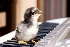 Kleines Huhn mit einem offenen Schnabel auf den Klavierschlüsseln Ausführung eines Liedes Die ersten Schritte im music_ lizenzfreie stockbilder