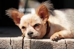 Kleines Hundeschlafen Stockfotografie