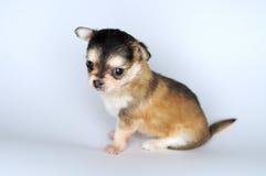 Kleines Hundewelpe chihuahuafrom, welches die Seite sitzt Lizenzfreie Stockbilder