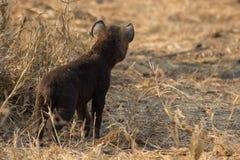 Kleines Hyänenwelpenspielen stehend außerhalb seiner Höhle im frühen mornin Lizenzfreies Stockbild