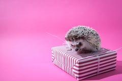 Kleines Igeles sitzt auf dem Geschenk auf rosa Hintergrund stockbild