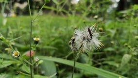 Kleines Insekt gehockt auf einem Löwenzahn Tierleben in einer Wiese von wilden Blumen stock footage