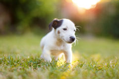 Kleines Jack Russell Terrier-Kind im Sonnenuntergang stockfotos