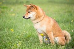 Kleines japanisches Hund-shiba inu in der Hunde- Bildung mit einer Sitzposition Lizenzfreies Stockfoto