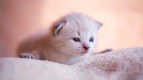 Kleines Kätzchen auf dem Kissen Stockfotografie