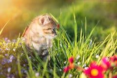 Kleines Kätzchen, das auf Hintergrund des grünen Grases spielt tageslicht Lizenzfreies Stockfoto