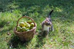 Kleines Kätzchen der getigerten Katze nahe einem Korb mit Äpfeln Stockfotografie