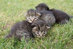 Kleines Kätzchen drei auf dem Gras Lizenzfreies Stockbild