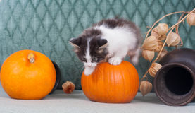 Kleines Kätzchen mit Kürbisen Stockfoto