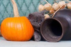 Kleines Kätzchen mit Kürbisen Stockbild