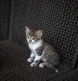 Kleines Kätzchen streifte weißen Farbton mit den blauen Augen, die auf einem geflochtenen Stuhl sitzen stockbild