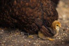 Kleines Küken geschützt von der Mutter Stockfotos