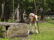 Kleines Kalb oder Babykuh, die Kopf auf einem hölzernen Stock verkratzt Natürliche Szene des Dorflebens Lizenzfreie Stockfotos