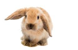 Kleines Kaninchen lizenzfreie stockbilder
