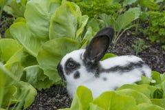Kleines Kaninchen, das Kopfsalat isst Lizenzfreies Stockfoto