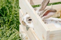 Kleines Kaninchen im Kasten Stockbild