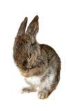 Kleines Kaninchen, Isolat stockfotos