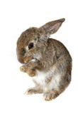 Kleines Kaninchen, Isolat stockfoto