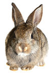 Kleines Kaninchen, Isolat lizenzfreie stockfotografie