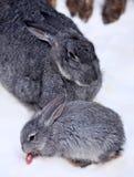 Kleines Kaninchen mit Damhirschkuhkaninchen Lizenzfreies Stockfoto
