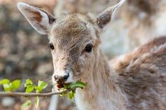Kleines Kitz, das Blätter isst Lizenzfreies Stockbild