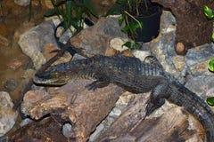 Kleines Krokodil Stockbild