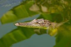 Kleines Krokodilschwimmen Überwasser im wilden Stockbild