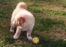 Kleines Labrador stockfotos