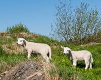 Kleines Lamm Stockbild