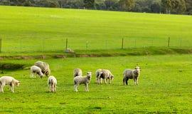 Kleines Lamm stockfotos