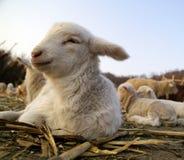 Kleines Lamm Lizenzfreies Stockfoto