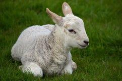 Kleines Lamm Stockfoto