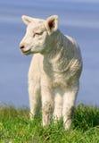 Kleines Lamm Stockbilder